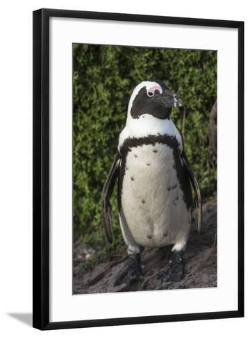 African Penguin, Bettys Bay, Western Cape, South Africa-Pete Oxford-Framed Art Print