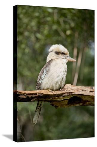 Australia. Dandenong, Grants Reserve. Kingfisher Laughing Kookaburra-Cindy Miller Hopkins-Stretched Canvas Print