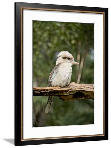 Australia. Dandenong, Grants Reserve. Kingfisher Laughing Kookaburra-Cindy Miller Hopkins-Framed Art Print