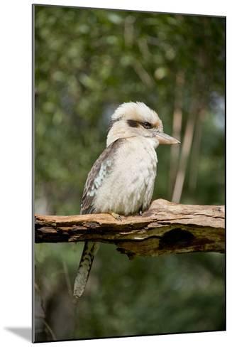 Australia. Dandenong, Grants Reserve. Kingfisher Laughing Kookaburra-Cindy Miller Hopkins-Mounted Photographic Print