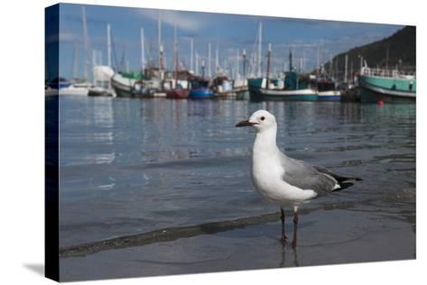 Hartlaubs Gull, Hout Bay Harbor, Western Cape, South Africa-Pete Oxford-Stretched Canvas Print