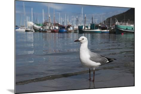 Hartlaubs Gull, Hout Bay Harbor, Western Cape, South Africa-Pete Oxford-Mounted Photographic Print