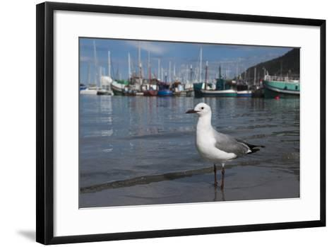Hartlaubs Gull, Hout Bay Harbor, Western Cape, South Africa-Pete Oxford-Framed Art Print