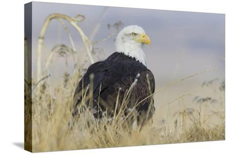 Bald Eagle on the Ground-Ken Archer-Stretched Canvas Print