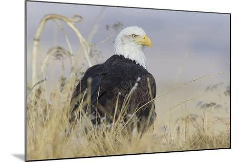 Bald Eagle on the Ground-Ken Archer-Mounted Photographic Print