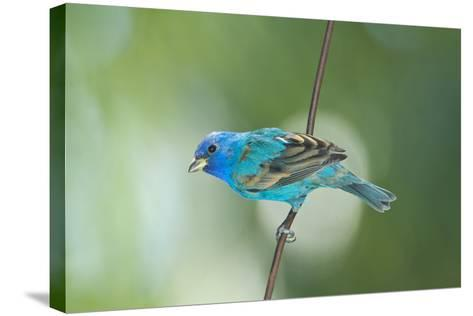 North America, USA, Florida, Immokalee, Indigo Bunting Perched on Wire-Bernard Friel-Stretched Canvas Print