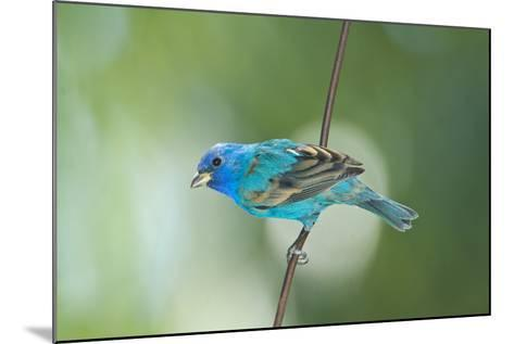 North America, USA, Florida, Immokalee, Indigo Bunting Perched on Wire-Bernard Friel-Mounted Photographic Print