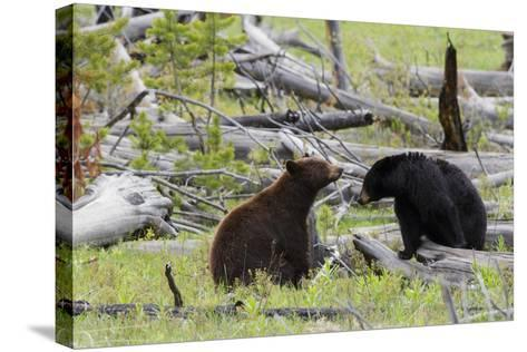 Black Bears, Spring Courting-Ken Archer-Stretched Canvas Print