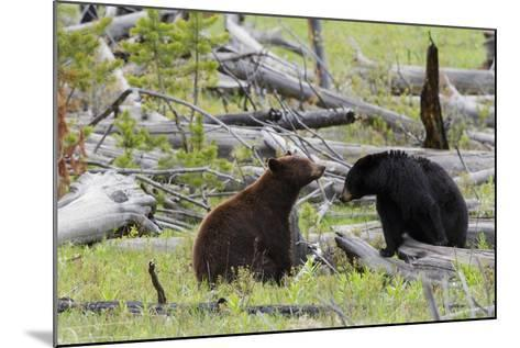 Black Bears, Spring Courting-Ken Archer-Mounted Photographic Print
