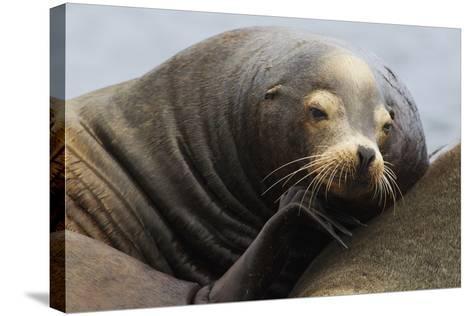 California Sea Lion Resting-Ken Archer-Stretched Canvas Print