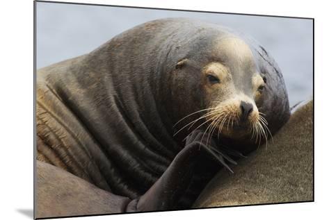 California Sea Lion Resting-Ken Archer-Mounted Photographic Print