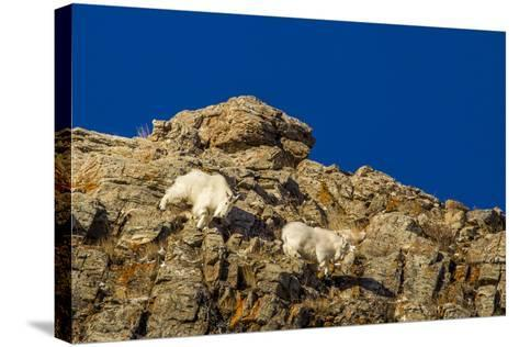 Billy Mountain Goats in Winter Coat in Glacier National Park, Montana, USA-Chuck Haney-Stretched Canvas Print