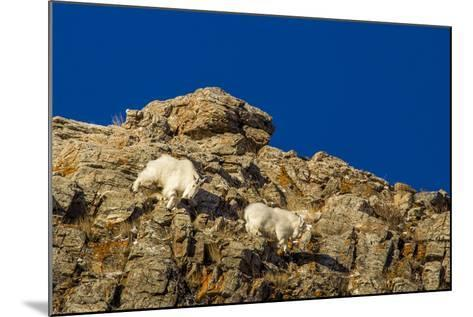 Billy Mountain Goats in Winter Coat in Glacier National Park, Montana, USA-Chuck Haney-Mounted Photographic Print
