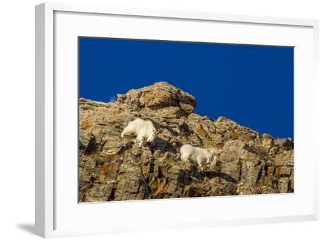 Billy Mountain Goats in Winter Coat in Glacier National Park, Montana, USA-Chuck Haney-Framed Art Print