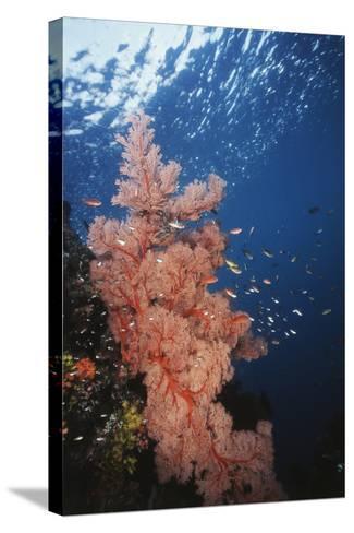 Indonesia, Komodo Islands, Gorgonian Soft Coral, Siphonogorgia-Stuart Westmorland-Stretched Canvas Print