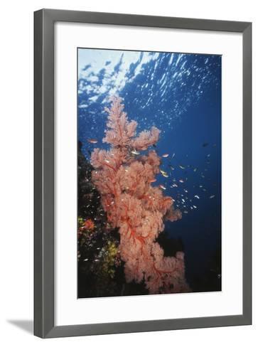 Indonesia, Komodo Islands, Gorgonian Soft Coral, Siphonogorgia-Stuart Westmorland-Framed Art Print