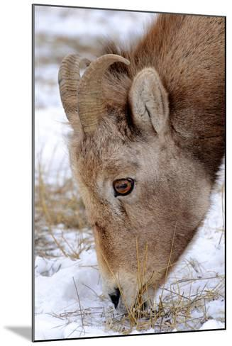 Rocky Mountain Bighorn Sheep Ram in Jasper National Park, Alberta, Canada-Richard Wright-Mounted Photographic Print