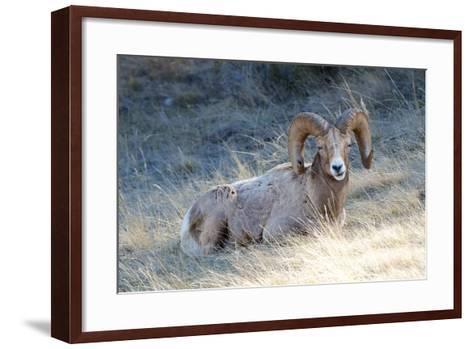 Rocky Mountain Bighorn Sheep, Ovis Canadensis Canadensis, B.C, Canada-Richard Wright-Framed Art Print