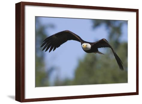 Bald Eagle-Ken Archer-Framed Art Print