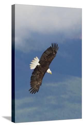 Bald Eagle-Ken Archer-Stretched Canvas Print