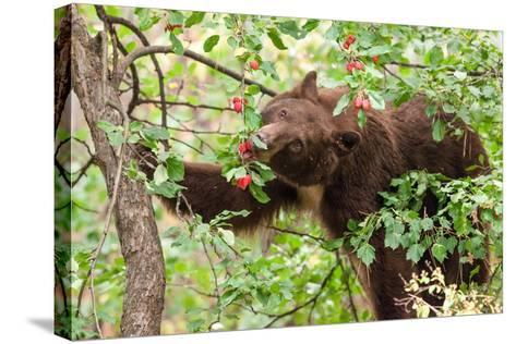 Juvenile Black Bear Eating Fruit in Missoula, Montana-James White-Stretched Canvas Print