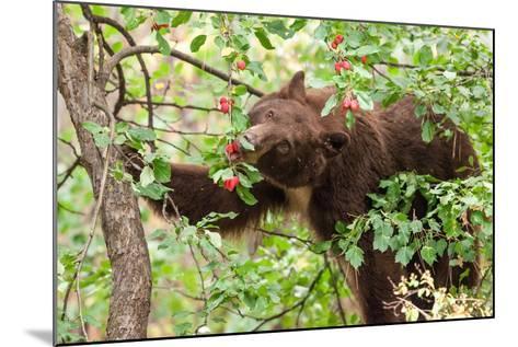 Juvenile Black Bear Eating Fruit in Missoula, Montana-James White-Mounted Photographic Print