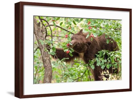 Juvenile Black Bear Eating Fruit in Missoula, Montana-James White-Framed Art Print
