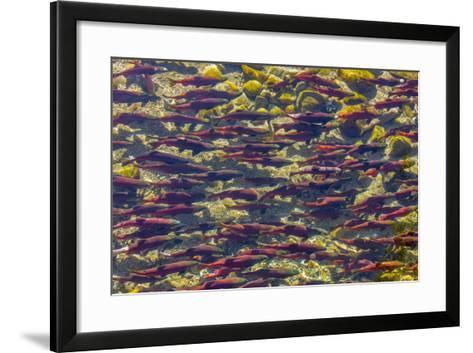 Kokanee Salmon Head Upstream in Spawning Grounds in B.C, Canada-Chuck Haney-Framed Art Print