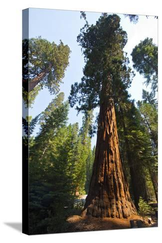 California, Yosemite National Park, Mariposa Grove of Giant Sequoia, the Colombia-Bernard Friel-Stretched Canvas Print