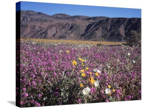 California, Anza Borrego Desert Sp, Sand Verbena and Primrose-Christopher Talbot Frank-Stretched Canvas Print