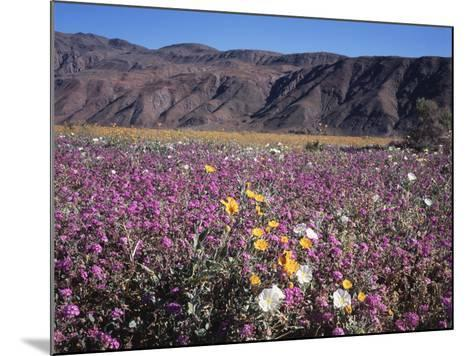 California, Anza Borrego Desert Sp, Sand Verbena and Primrose-Christopher Talbot Frank-Mounted Photographic Print