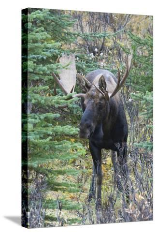 Shiras Bull Moose-Ken Archer-Stretched Canvas Print