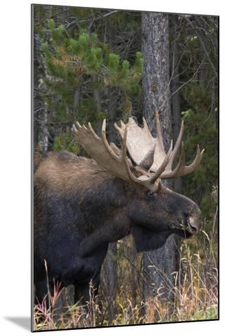 Shiras Bull Moose-Ken Archer-Mounted Photographic Print
