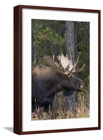Shiras Bull Moose-Ken Archer-Framed Art Print