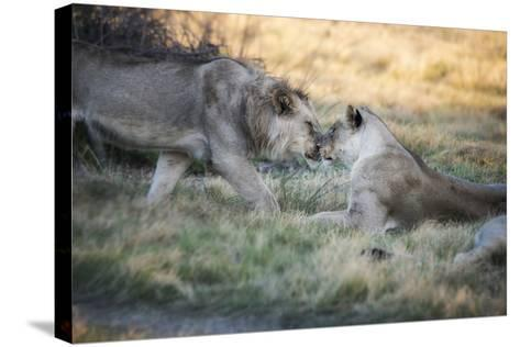 Lioness and Juvenile Nuzzling in Grassland, Botswana, Africa-Sheila Haddad-Stretched Canvas Print