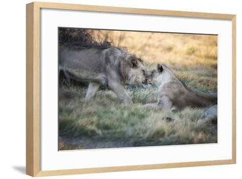 Lioness and Juvenile Nuzzling in Grassland, Botswana, Africa-Sheila Haddad-Framed Art Print