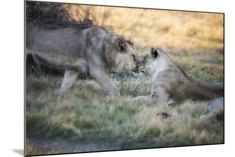Lioness and Juvenile Nuzzling in Grassland, Botswana, Africa-Sheila Haddad-Mounted Photographic Print