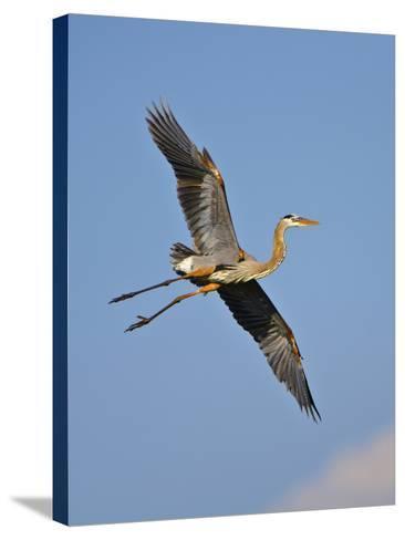 Florida, Venice, Great Blue Heron Flying Wings Wide Blue Sky-Bernard Friel-Stretched Canvas Print