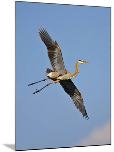 Florida, Venice, Great Blue Heron Flying Wings Wide Blue Sky-Bernard Friel-Mounted Photographic Print