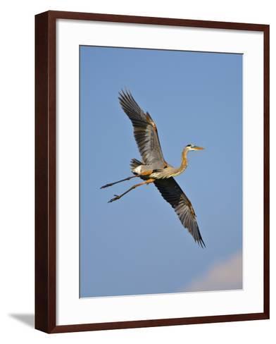 Florida, Venice, Great Blue Heron Flying Wings Wide Blue Sky-Bernard Friel-Framed Art Print