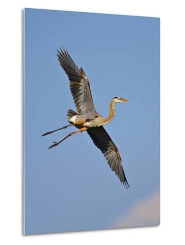 Florida, Venice, Great Blue Heron Flying Wings Wide Blue Sky-Bernard Friel-Metal Print