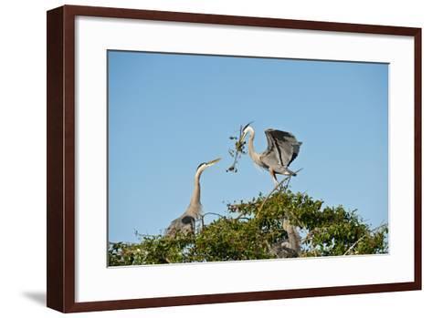 Florida, Venice, Great Blue Heron, Courting Stick Transfer Ceremony-Bernard Friel-Framed Art Print