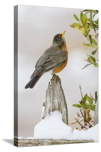 Wichita Falls, Texas. American Robin Searching for Berries-Larry Ditto-Stretched Canvas Print