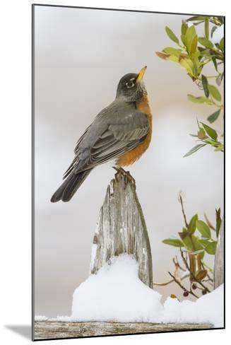 Wichita Falls, Texas. American Robin Searching for Berries-Larry Ditto-Mounted Photographic Print