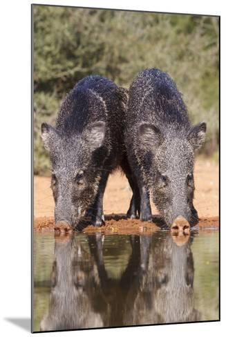 Starr County, Texas. Collared Peccary Family in Thorn Brush Habitat-Larry Ditto-Mounted Photographic Print