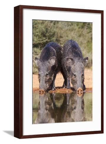 Starr County, Texas. Collared Peccary Family in Thorn Brush Habitat-Larry Ditto-Framed Art Print