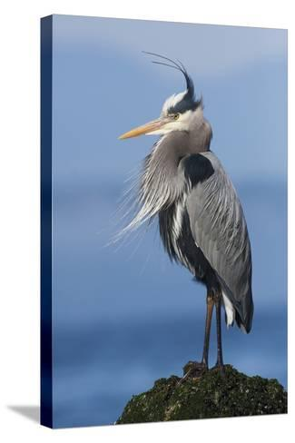 Great Blue Heron, Attempting to Preen on a Windy Day-Ken Archer-Stretched Canvas Print