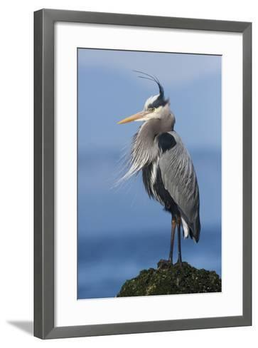 Great Blue Heron, Attempting to Preen on a Windy Day-Ken Archer-Framed Art Print