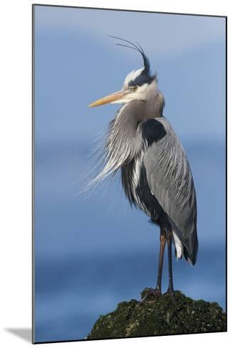 Great Blue Heron, Attempting to Preen on a Windy Day-Ken Archer-Mounted Photographic Print