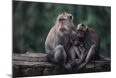 Indonesia, Bali, Ubud, Long Tailed Macaque in Monkey Forest Sanctuary-Paul Souders-Mounted Photographic Print
